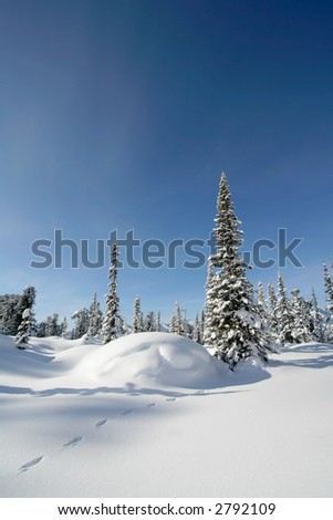 Pine trees covered with fresh snow. Sunny day. - stock photo