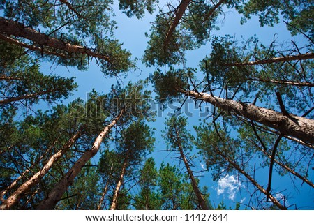 pine trees from below