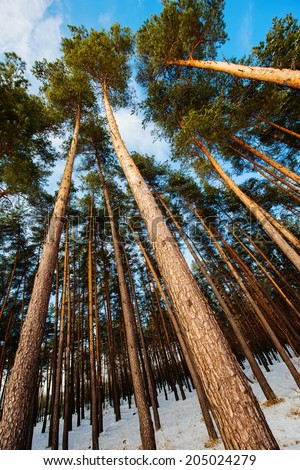 pine trees growing in the forest on the sky background - stock photo