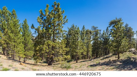 Pine trees in cluster in mountains of Frazier Park in southern California. - stock photo
