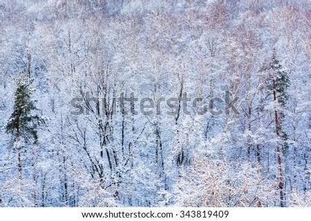 pine trees in snow woods in winter season - stock photo