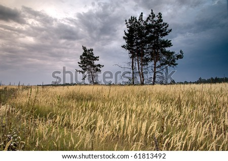 Pine trees in the field with dramatic sky