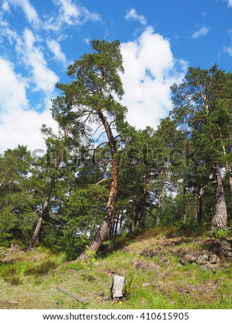 pine trees in the forest - stock photo