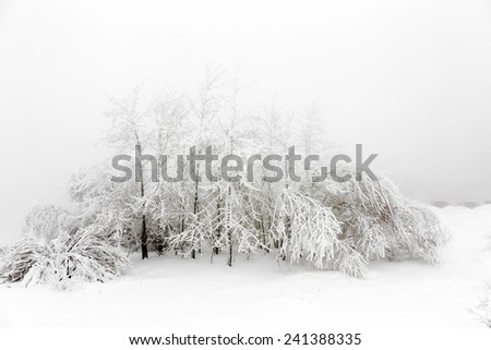 Pine trees in the snow in front of a blizzard in the mountains - stock photo