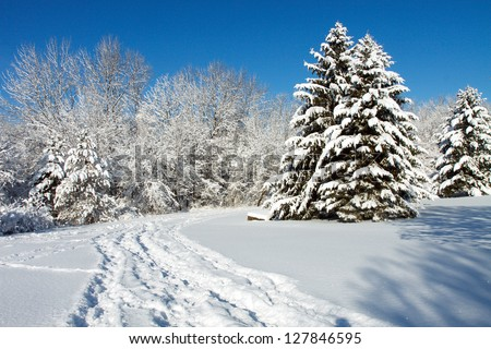 Pine trees in the winter snow, with a blue sky background and copy space for text - stock photo