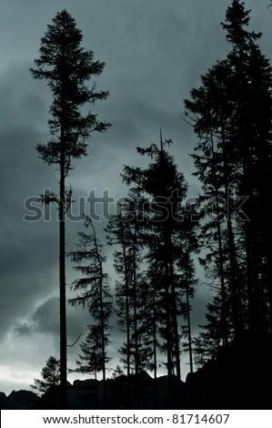 Pine trees in twilight - stock photo
