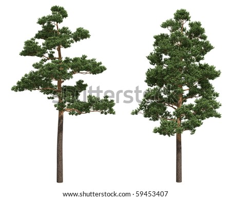 Pine trees isolated on white - stock photo