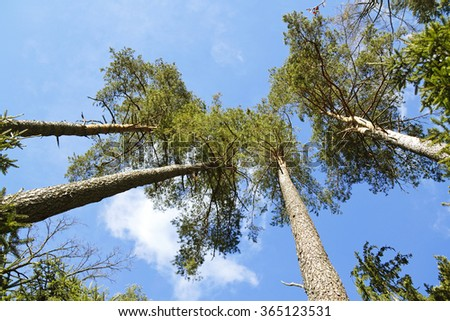 Pine trees on blue sky - stock photo