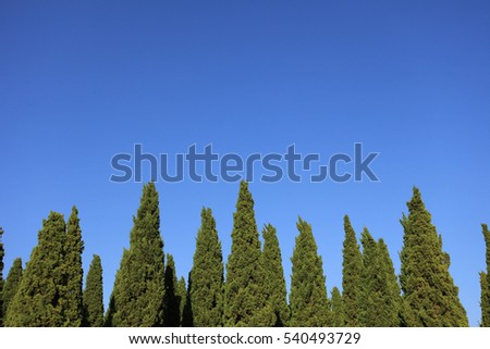 pine trees on blue sky