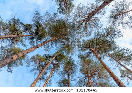 pine trees trunks and tops view from the bottom - stock photo