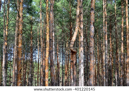 pine trees with a single curved trunk among dense wood of straight ones - stock photo