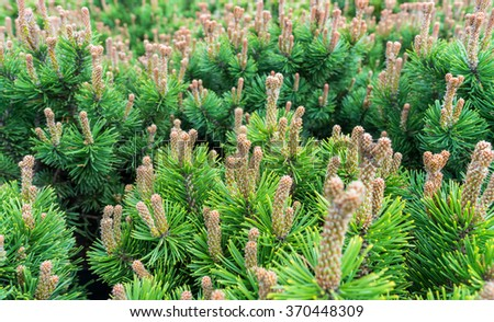 Pine trees with yang pine cones and green pine needles.Garden centre, plant nursery - stock photo