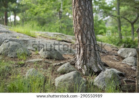 Pine trunk.  - stock photo