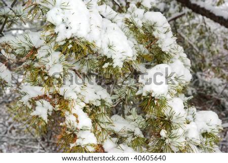 pine under snowfall - stock photo