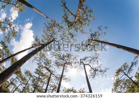 Pine upward to sky at Phu Kradueng national park, Loei, Thailand - stock photo