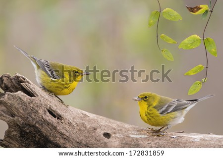Pine Warblers Face Off - stock photo
