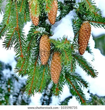 Pine with Cones - stock photo