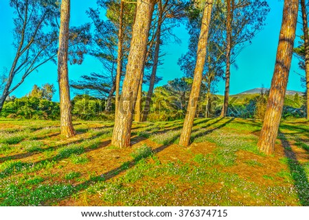 Pine wood in the springtime in Sardinia, Italy - stock photo