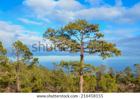 Pine Woods Forest in Tenerife Canary Islands Spain
