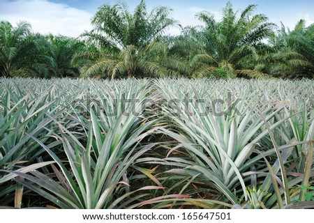 Pineapple and Oil palm plantation in Johor, Malaysia. - stock photo