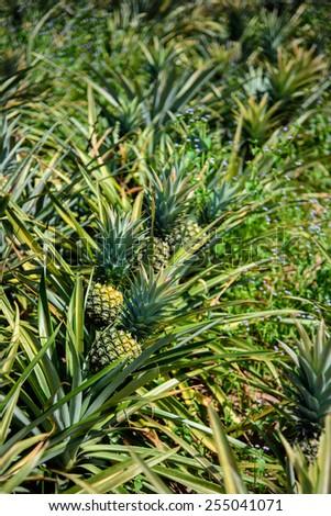 Pineapple farm, Sriracha, Chonburi, Thailand - stock photo