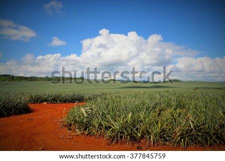 Pineapple field in Costa Rica - stock photo