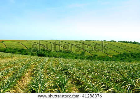 Pineapple fields, Bathurst, Eastern Cape, South Africa