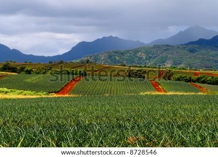 Pineapple fields in Hawaii - stock photo
