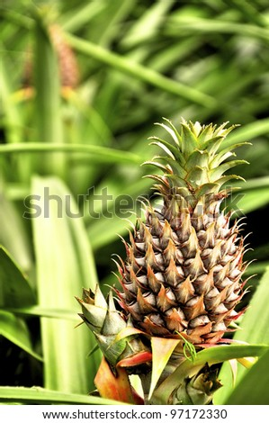 Pineapple growing in a pineapple field - stock photo
