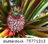 Pineapple growing on pineapple plant. - stock photo