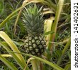 pineapple / Growing pineapple on a parent plant - stock photo