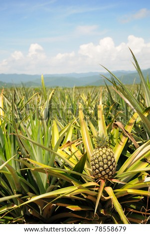 Pineapple in the plantation area under tropical area - stock photo