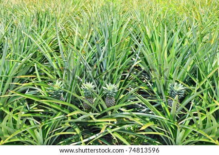 Pineapple Plant Field Stock Photo 74813596