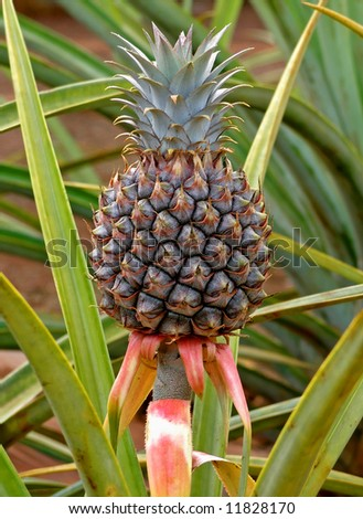 Pineapple Tree Stock Images Royalty Free Images Amp Vectors