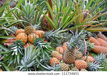 Pineapple, tropical fruit in Thailand - stock photo