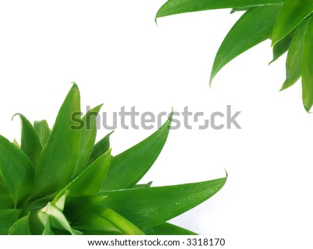 Pineapples leaves on a white background - stock photo