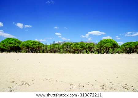 pines - stock photo