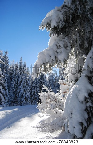 Pines covered frozen snow - stock photo