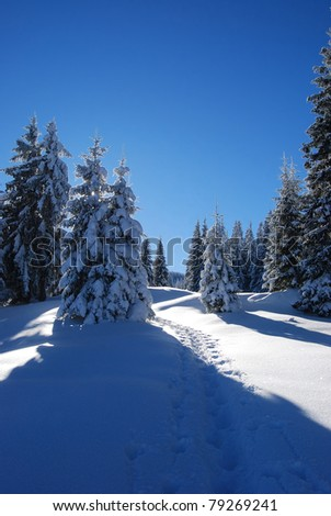 pines covered snow - stock photo