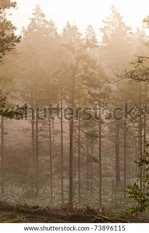 Pines in the forest with morning mist - stock photo