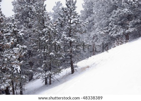 Pines on a steep snow covered slope stand still and silent during a heavy storm in winter, in a remote area in the foothills of the Colorado Rocky Mountains - stock photo