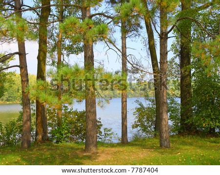 Pines on the lake shore