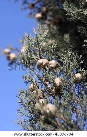 Pines on tree - stock photo