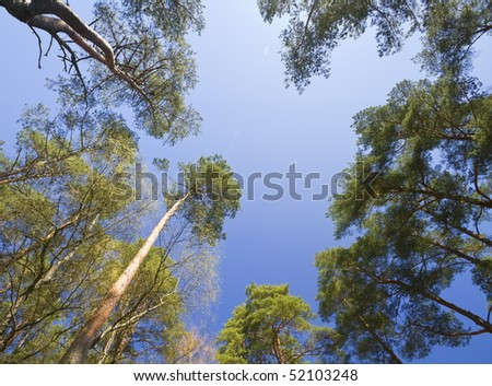 pines, the view from the bottom - stock photo