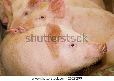 Pink a pig on a farm - stock photo
