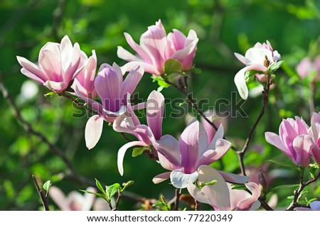 Pink abloom pair of magnolia flower with beautiful bokeh - stock photo