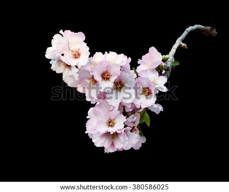 Pink almond blossom branch isolated on black. Spring beautiful pink almonds flowers branch on black background. Branch full of spring blossom.
