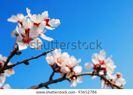 Pink Almond blossom set against a blue sky - stock photo