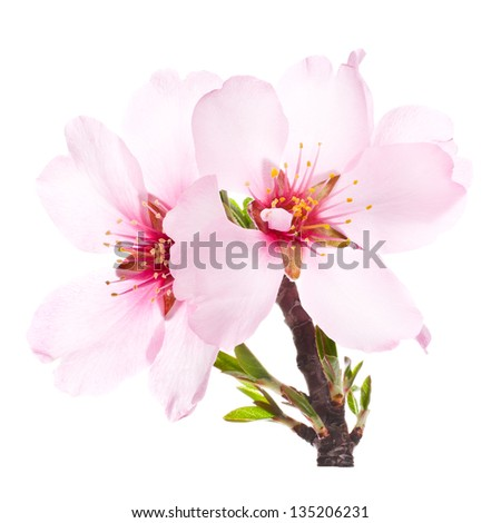 pink almond blossoms on a branch close-up. isolated on white background - stock photo