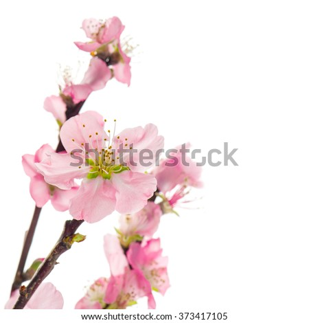 Pink almond flowers isolated on white background. Selective focus